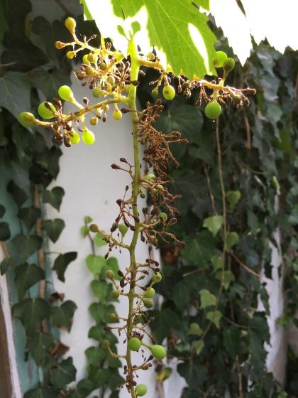 sick-grapevine